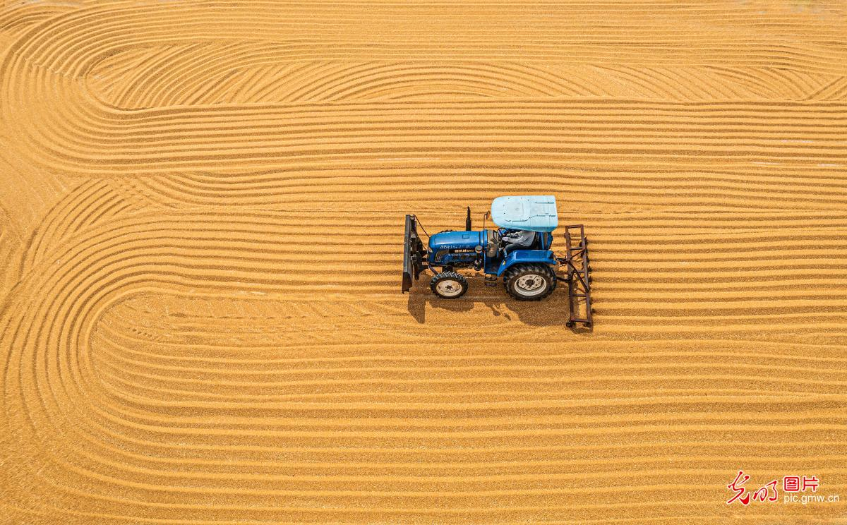 Agricultural machinery harvest wheat in Sihong, E China's Jiangsu