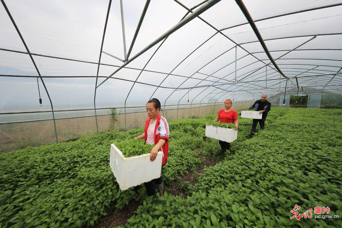 Mint planting in mountain valley, SW China's Guizhou Province