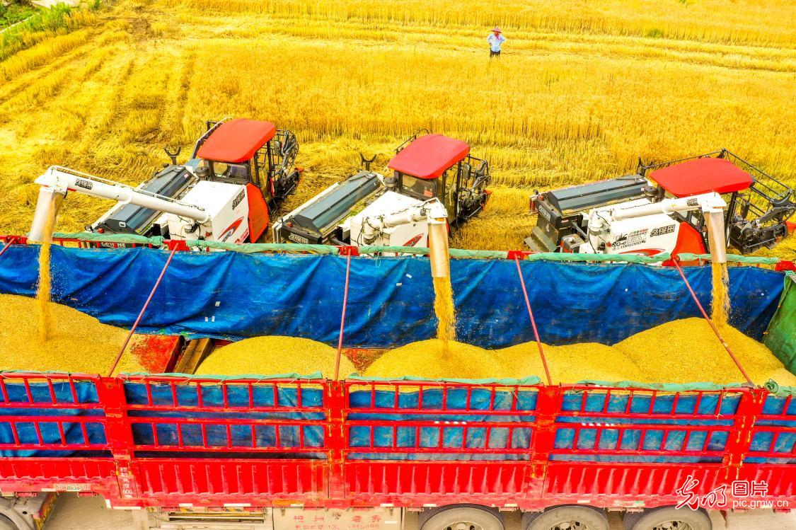 Large-scale summer harvest begins in China