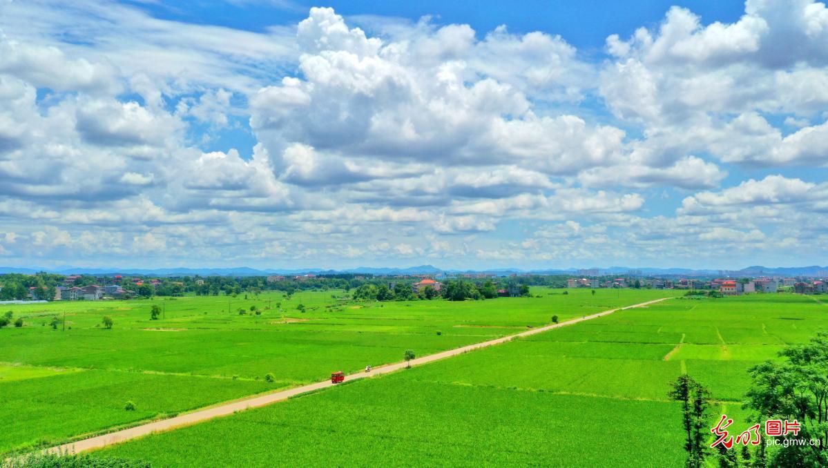 Scenery of paddy fields in Yongfeng, E China's Jiangxi