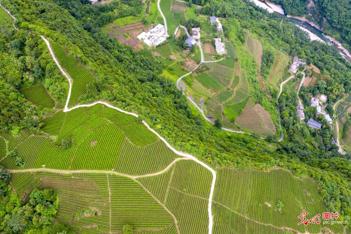 Farmers pick tea leaves in Enshi, C China's Hubei