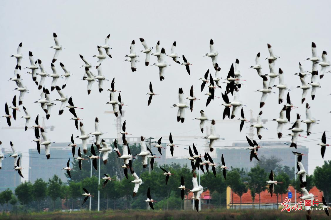 Chinese crested terns seen in Qingdao, E China's Shandong