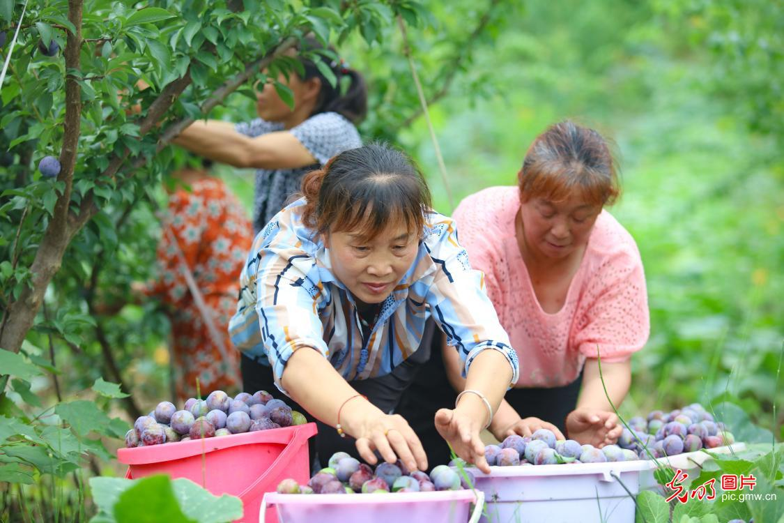 Plums harvested in C China's Sichuan