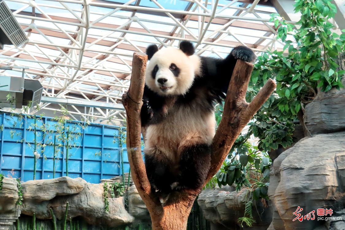 Giant panda plays at Beijing Zoo