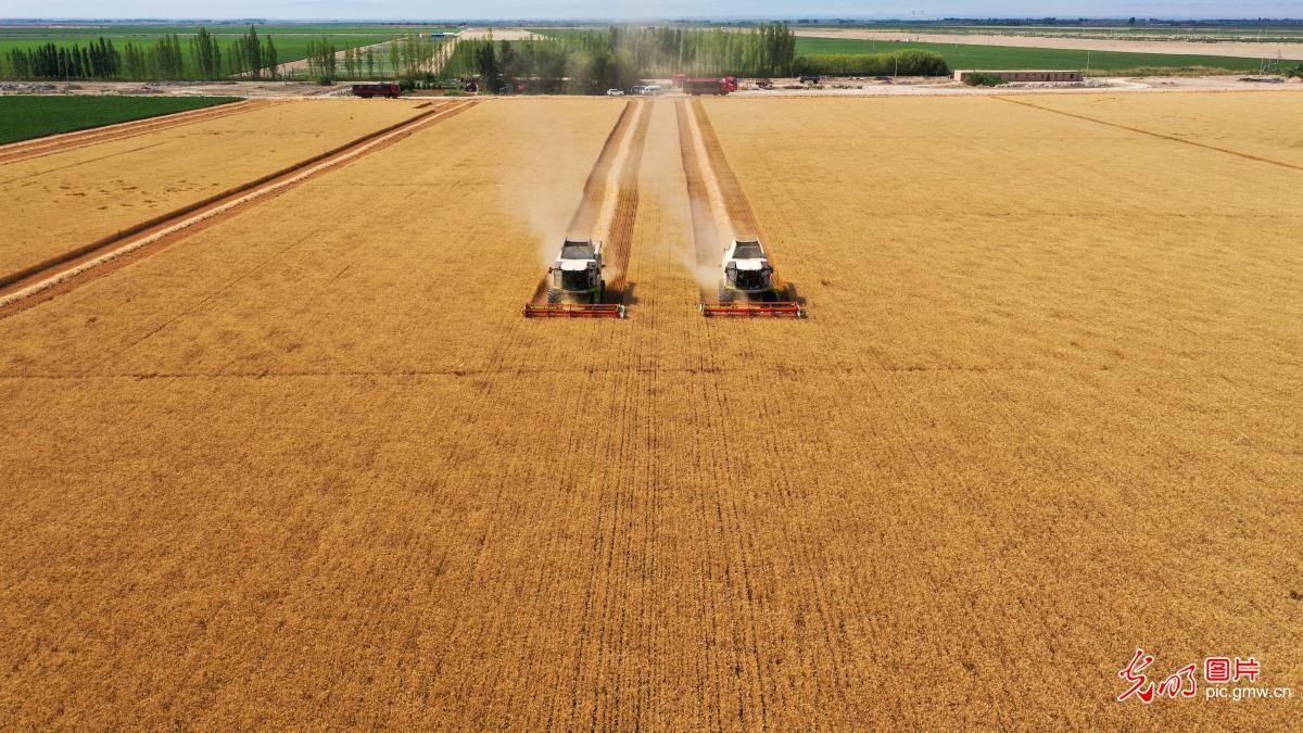 Winter wheat harvested in NW China's Xinjiang