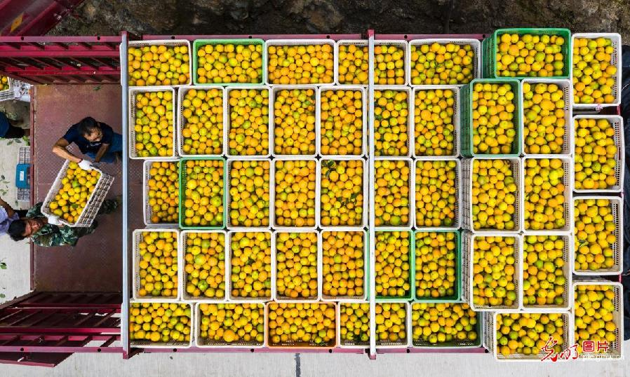 Oranges harvested in C China's Hubei