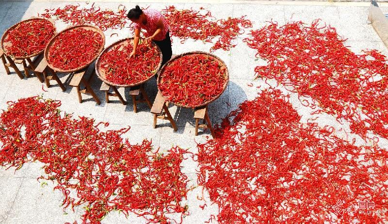 Peppers harvested in E China's Jiangxi