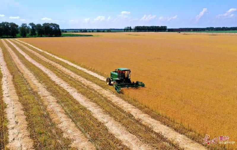 Wheat harvested in NE Chian's Heilongjiang