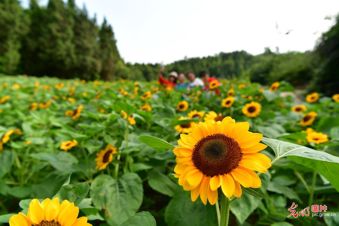Sunflowers blooming across China in July