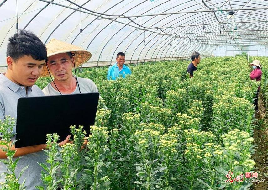 5G物联网等技术应用促进菊花产业发展