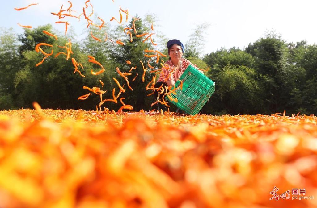 湖南衡东:黄贡椒产业助民增收
