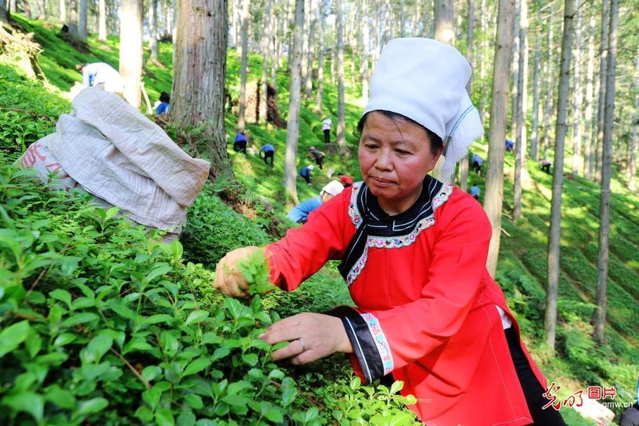 贵州榕江:林下经济助增收
