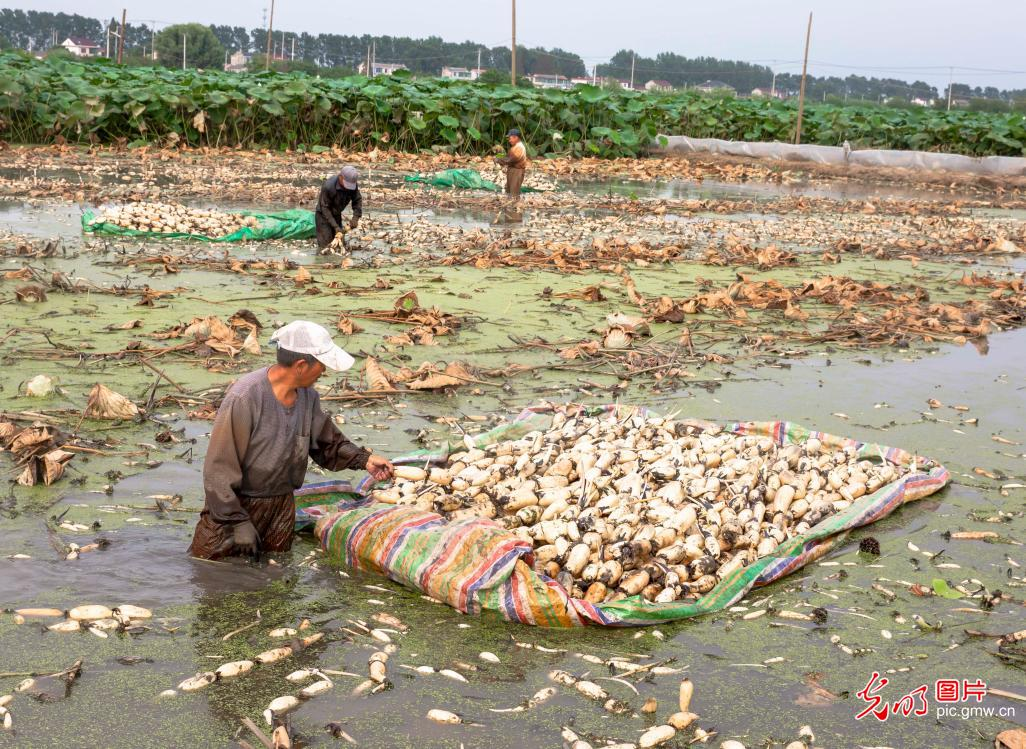 Lotus roots harvested in E China's Jiangsu Province