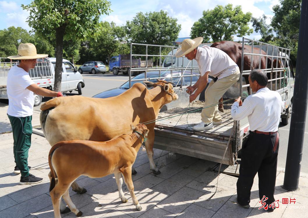 Cattle market opens in E China's Zhejiang Province