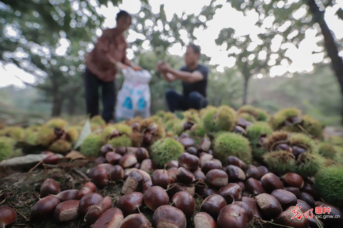 Chestnut industry well developed in N China's Hebei Province