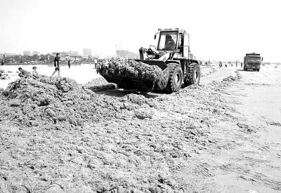 7月17日,在青岛金沙滩海水浴场,工作人员在装运海滩上清理出的浒苔.
