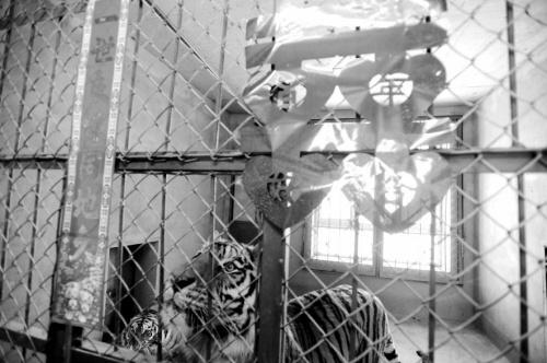 两只老虎入 洞房