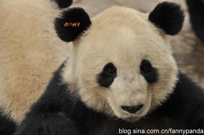 郑州动物园病亡大熊猫锦意的世界
