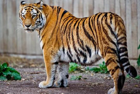 动物园员工被虎咬死 三只老虎撕咬一男子(图)