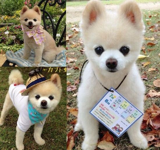 最萌的宠物狗——俊介