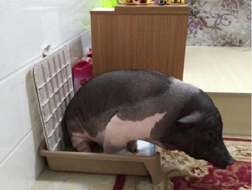 北京女孩搂170斤宠物猪睡觉