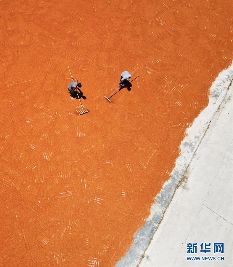 #(经济)(1)贵州遵义:酿酒高粱映红小康路