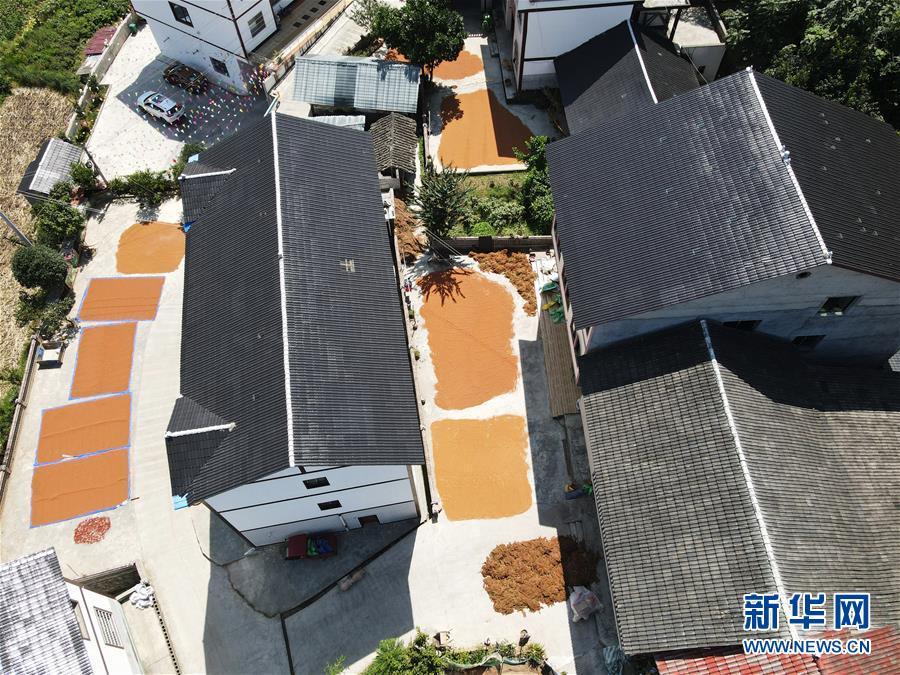 #(经济)(3)贵州遵义:酿酒高粱映红小康路