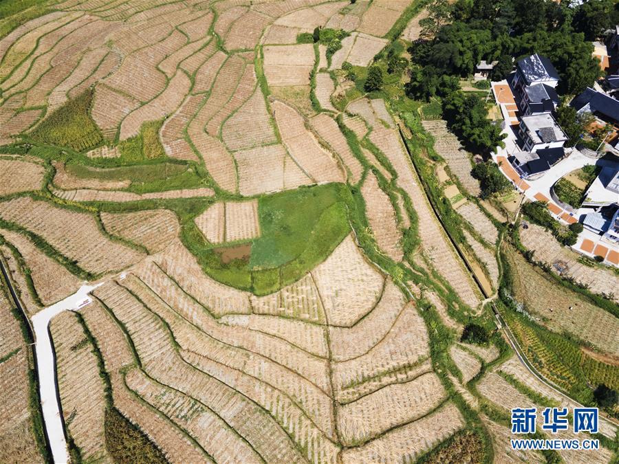 #(经济)(4)贵州遵义:酿酒高粱映红小康路