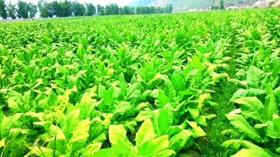 金发科技公司在云南省烟草种植田里试验完全生物