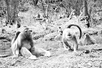神农架金丝猴得到有效保护