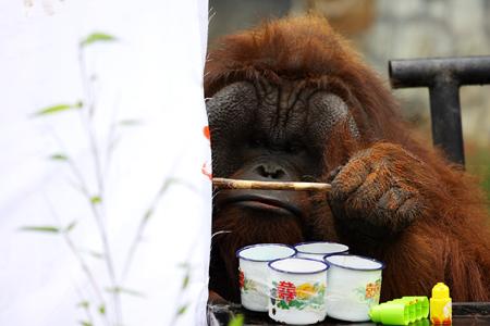 云南野生动物园帮猩猩解相思